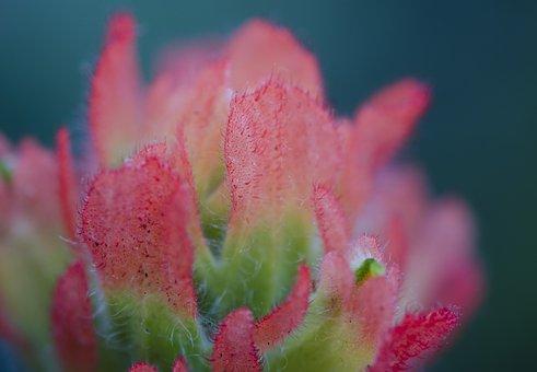 Flower, Indian Paintbrush, Sonoma