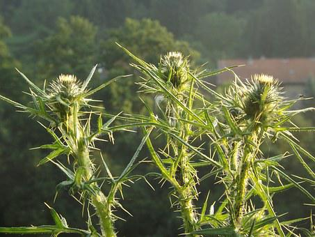 Thistle, Spur, Prickly, Spiny, Silver Thistle