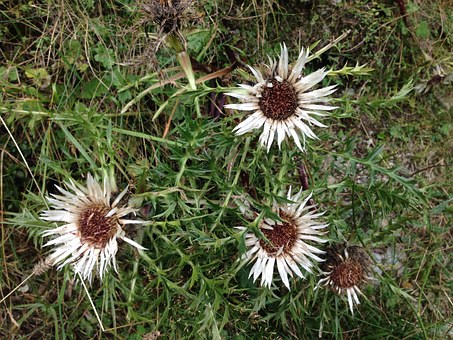 Silver Thistle, Thistle, Flower, White, Spur