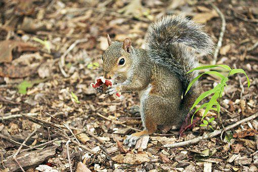 Squirrel, Eating, Mushroom, Rodent, Animal, Nature