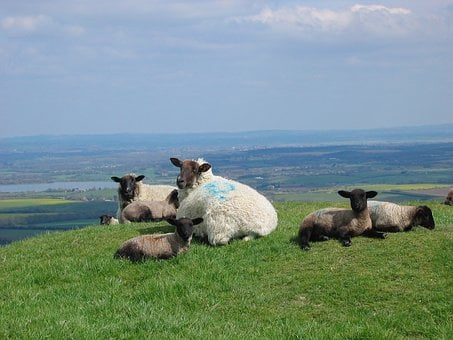 Sheep, Lambs, Spring, Sussex, England, Grass, Farm
