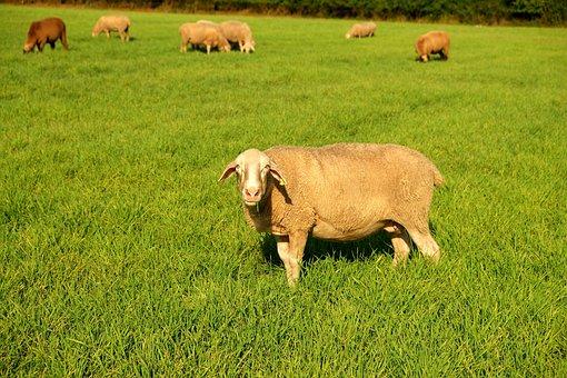 Sheep, Pasture, Livestock, Meadow, Graze, Nature, Wool