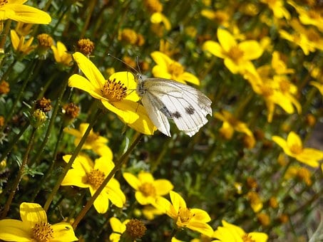 Butterflies, Cabbage White, Yellow Flowers