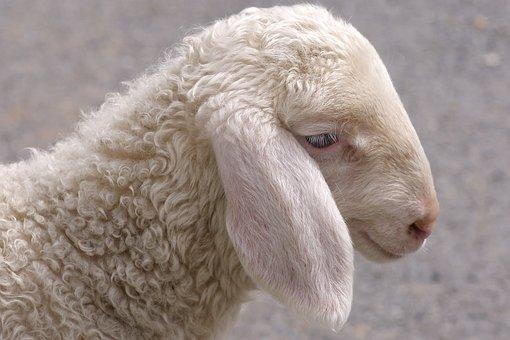 Schäfchen, Lamb, Young, Sheep, Lambs, Sweet, Easter