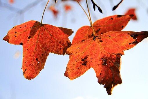 Maple Leaf, Orange, Xie, Autumn, Vertical Only
