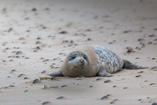 Grey Seal, Robbe, Halichoerus Grypus, Beach, Dune