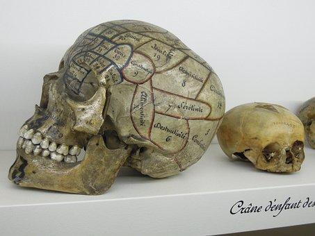 Skull, Phrenology, Museum, Curiosity, Skeleton
