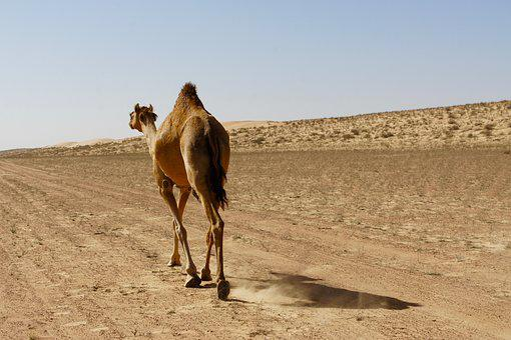 Dromedary, Camel, Desert, Bedouin, Animal World, Oman