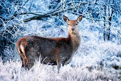 Deer, Winter, Frost, Forest, Forest In Winter