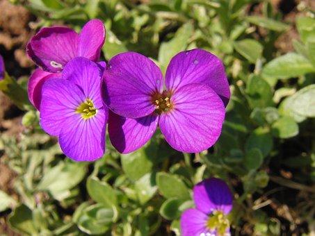 Glockenbume, Flower, Blossom, Bloom, Violet, Purple