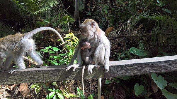 Bali, Monkey, Child, Monkey Child, Indonesia