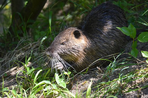 Nutria, Coypu, Shy, Out To His, Snack, Eating