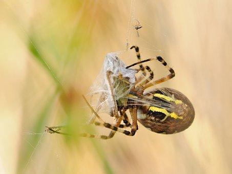 Spider, Canvas, Prey, Macro, Argiope Hornet