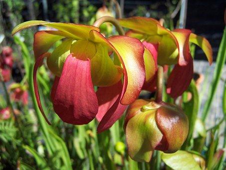 Sarracenia, Hybrid, Insectivorous, Carnivora, Rustica