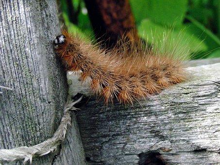 Caterpillar, Shaggy Tracks, Diaphora Mendica, Insect