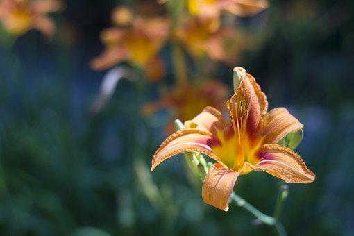 Dragon Lily, Orange, Spring, Bloom, Lily, Summer