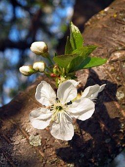 Sunshine, Meggyvirág, Flower Buds, Wood, Spring