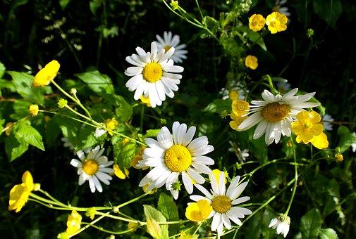 Daisy, Wild, Flowers, Nature, Summet, White Patals