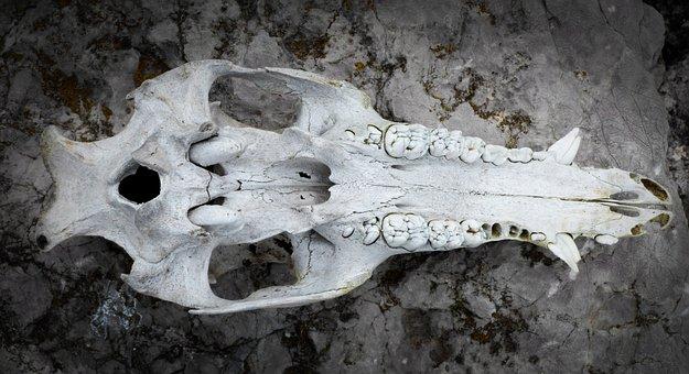 Skull, Animal, Wild Pig, Texture, Tusk, Bone