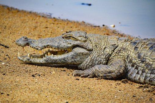 Crocodile, Ghana, Africa, West Africa
