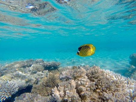 Angelfish, Underwater, Sea, Underwater World, Fish