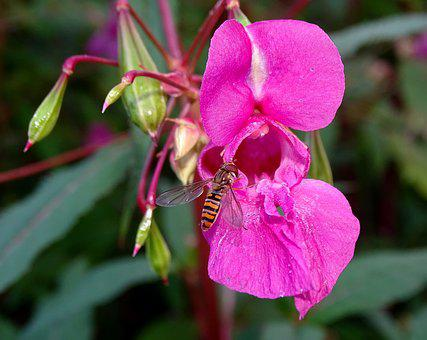Balsam, Hover Bee, Flower, Blossom, Bloom, Weed, Insect