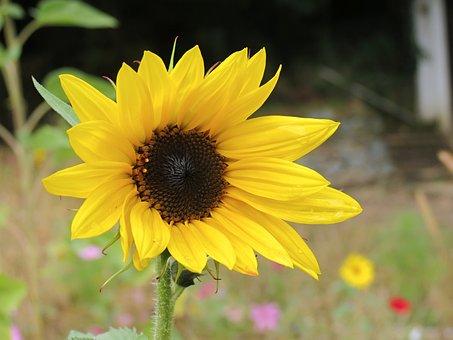 Sun Flower, Flower, Yellow, Nature, Blossom, Bloom