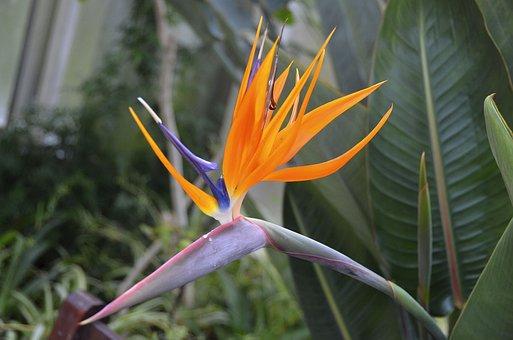 Bird Of Paradise Flower, Strelizie, Bright Colours