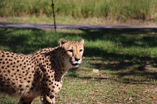 Cheetah, Zoo, Adventure World