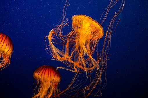 Jellyfish, Compass Jellyfish, Chrysaora Hysoscella