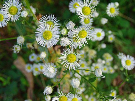 Fine Jet, Pointed Flower, White, Fleabane, Flower