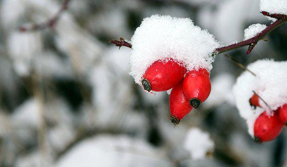 Rose Hip, Winter, Cold, Ice, Snow, Frost, Nature, Red