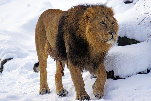 Lion, Male, Indian, Predator, Cat, Indian Lion