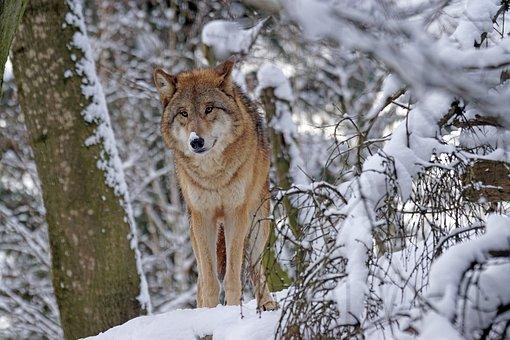 Wolf, Mongolian, Mongolian Wolf, Predator, Snow