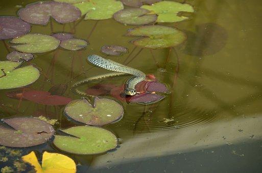 Grass Snake, Snake, Water Snake, Snakehead, Natter