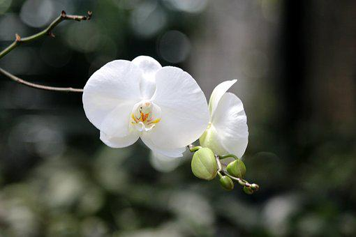 White Orchid, Flower Orchid, Plant, Orchid, Flower