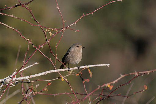 Black Redstart, Phoenicurus Ochruros, Birds, Animals