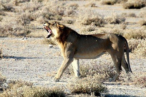 Lion, Namibia, Etosha, National Park, Safari, Predator