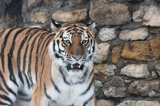 Amur Tiger, Tiger, Predator, Beast Of Prey, Wild Cat