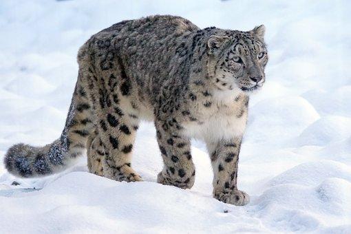 Snow Leopard, Predator, Cat, Threatened, Snow, Wildcat