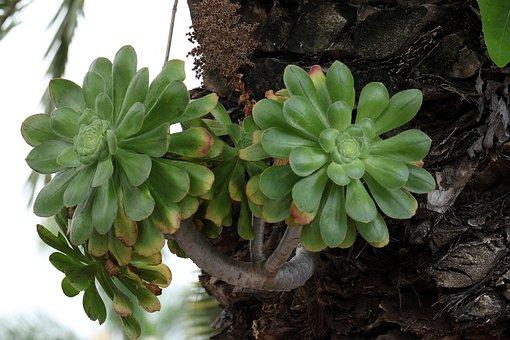 Tropical Plant, The Parasite, On The Stump, Succulent