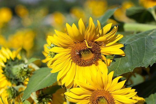 Sunflower, Nan River, Summer, Bee, Insects