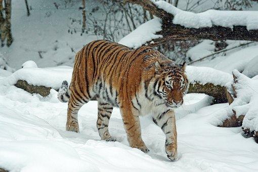 Tiger, Amurtiger, Predator, Cat, Carnivores, Dangerous