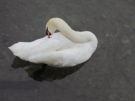 Swan, Clean Up, River, Zurich, Switzerland, Water Bird