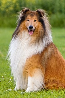 Dog, Collie, Animal, Pet, Long Haired, Sitting