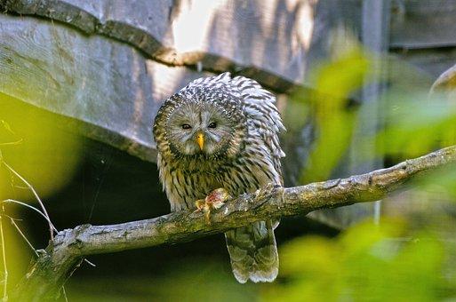 Ural Owl, Raptor, Strix Ancient, Bird, Animal, Sit