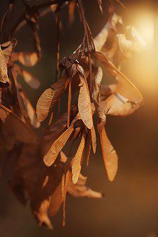 Propeller, Seeds, Maple Mountain, Fruit, Brown, Autumn