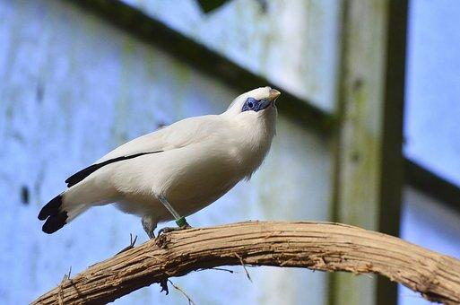Bali Starling, Bird, Exotic Bird, Animal, Mynah, Zoo