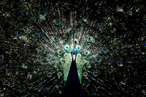 Peacock, Bird, Colorful Tail Feathers