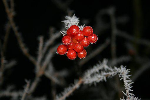 Winter, Fruit, Fruits, Nature, Plant, Cold, Red, Bush